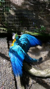 This blue macaw likes to hang upside down and peck at Crystal´s hair. Here is enjoying a bath in fresh new water