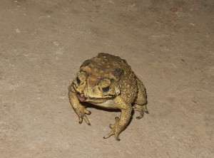 One of the frog or toads that would eat the flying termites at Elephant World.