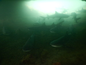 Swimming with white tipped reef sharks